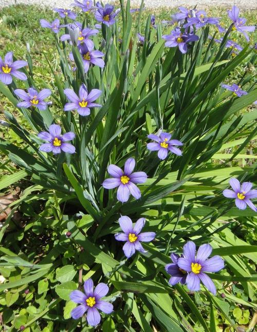 Bermudiana the department of environment and natural resources bermudas national flower is a small member of the iris family it has a distinctive purple flower with a bright yellow centre in the spring mightylinksfo