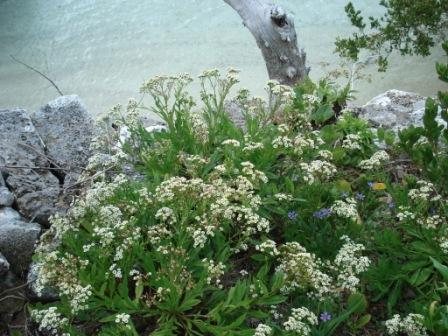 Darrell's Fleabane in a coastal rock garden. (Photo by Alison Copeland)