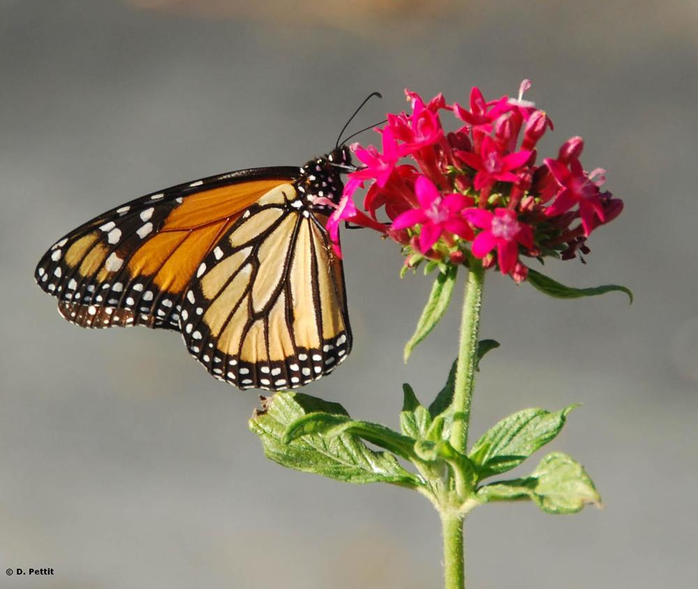Monarch butterfly on Pentas flower