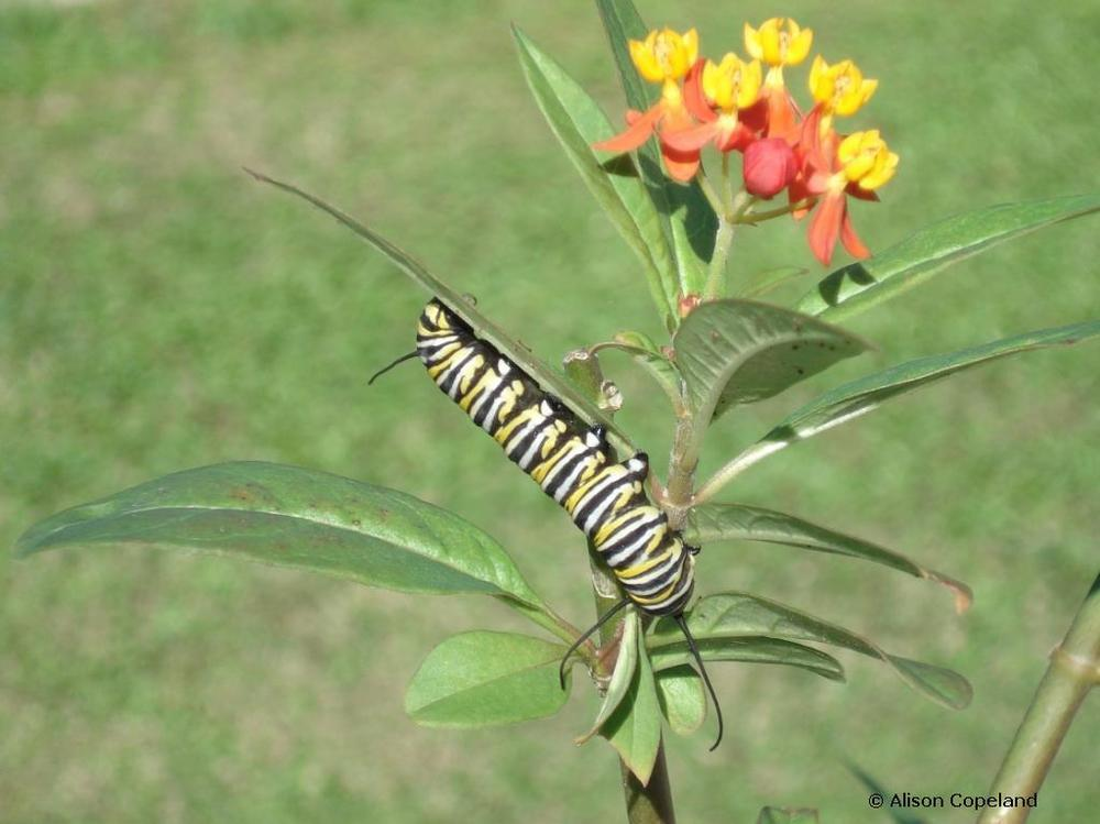Monarch caterpillar on Milkweed ( Asclepias currassavica)