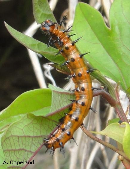 Gulf Fritillary caterpillar on a Common Passionflower
