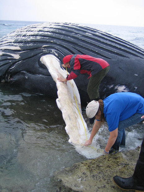 Assessing a dead Humpback whale found at Arial Sands
