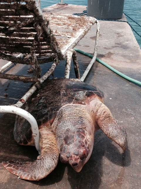 Loggerhead Turtle stuck in a lawn chair