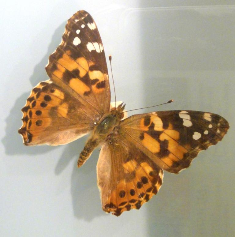 Painted Lady on display in the Bermuda Natural History Museum