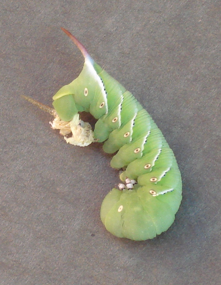 The Tobacco Hornworm is the caterpillar of the Carolina Sphinx Moth