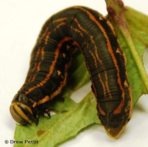 The larva or caterpillar, is known as the Sweet Potato Hornworm.