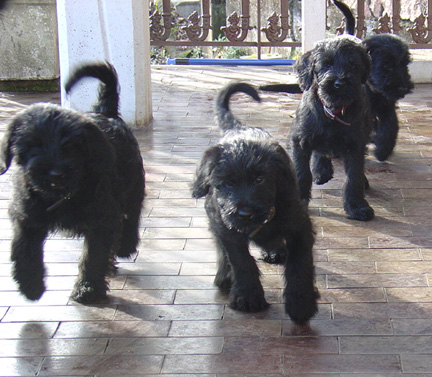 Four puppies running on the terrace of Koopersmith PBC Publishing in Italy.  Barack, Mischka, Michelle, and Deniruschka!