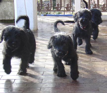 Four puppies running on the terrace of Koopersmith PBC Publishing in Italy. Barack, Mischka, Michelle, and Deniruschka!