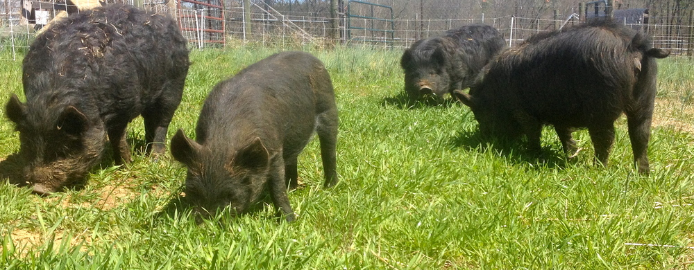 American Guinea Hog herd on pasture