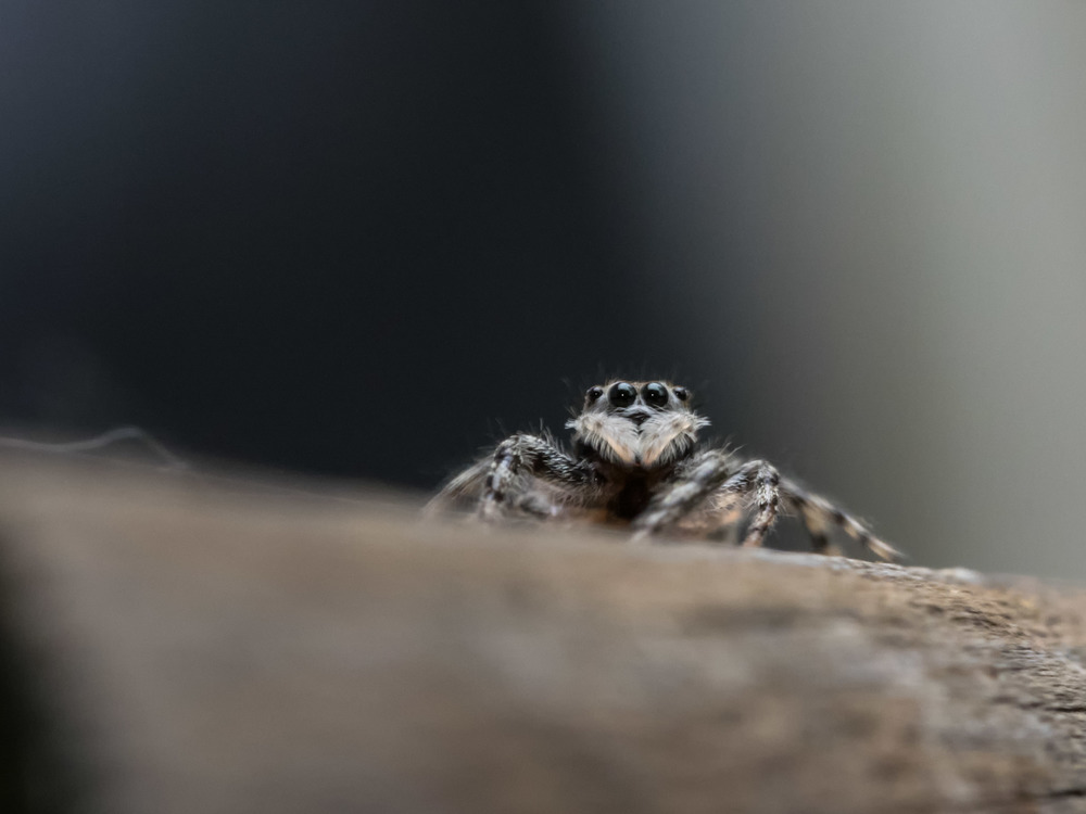 Jumping spider shot with the Olympus OM-D E-M1 & 60mm f/2.8 macro. Lit off camera with an FL-600r