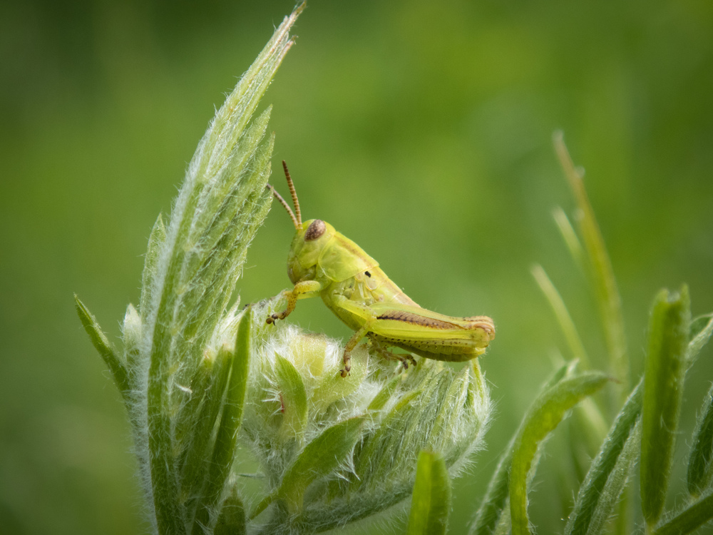Little itty bitty grasshopper. Could have fit on my thumbnail. :)