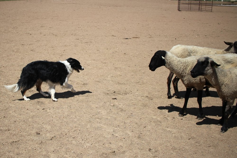 I went to the Estes Park Wool Market and had a great time with yarn, sheep, and border collies. | withwool.com