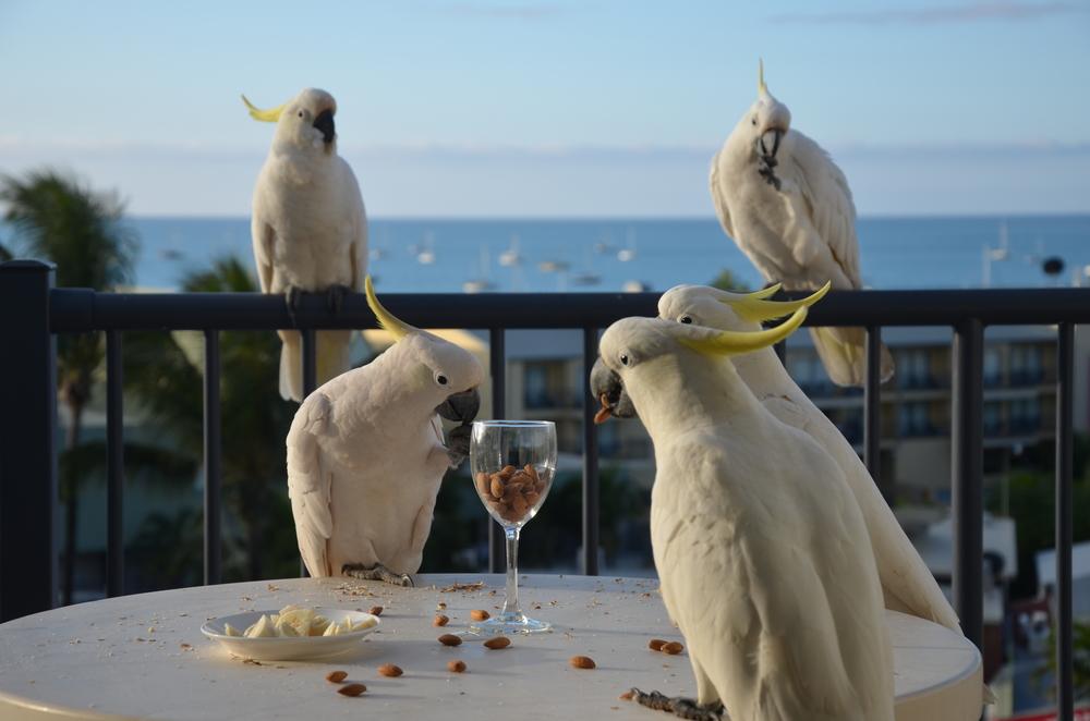 Cockys enjoying an almond cocktail!
