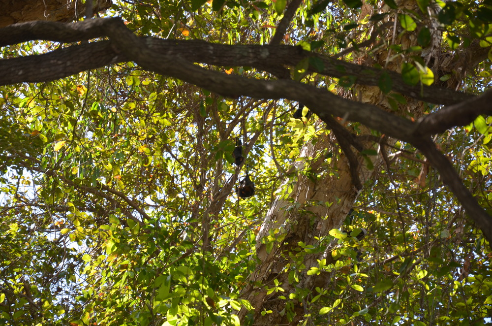 Flying foxes hanging in the trees.