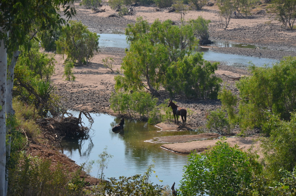 Wild horses in the Western Australia countryside!