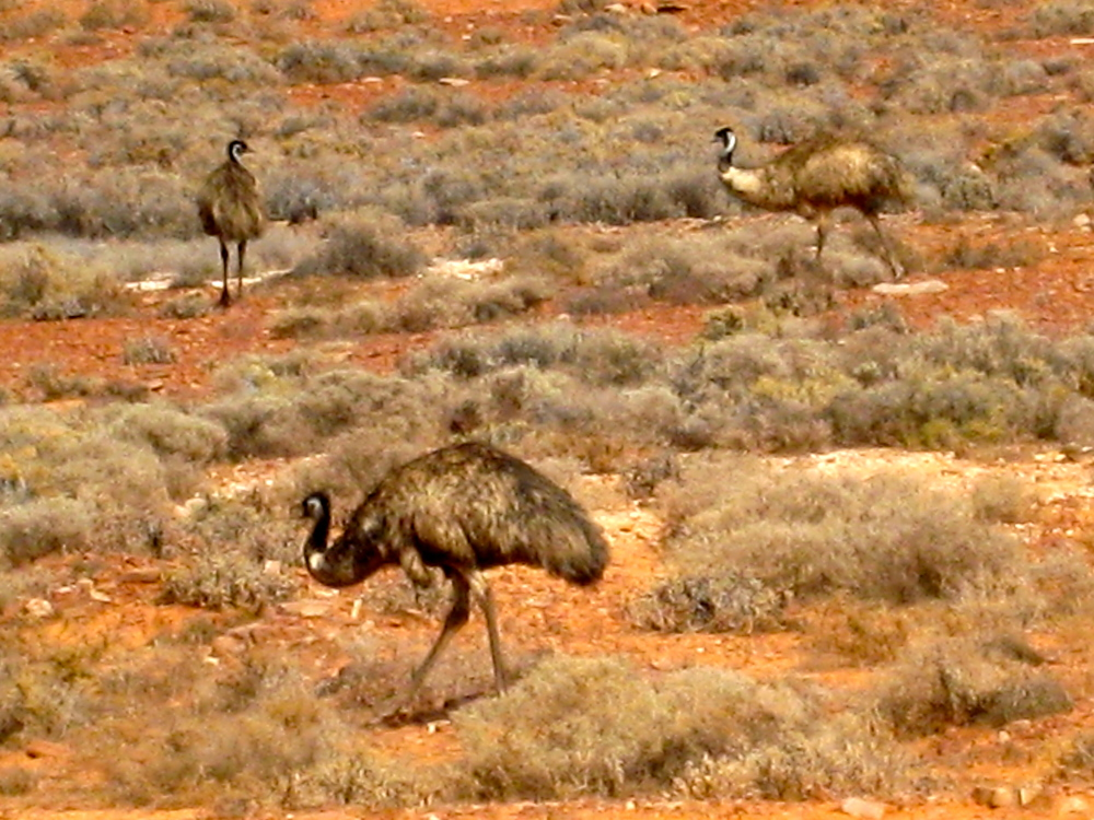 Amazing f locks of Emu's running a muck all the way up to Coober Pedy.