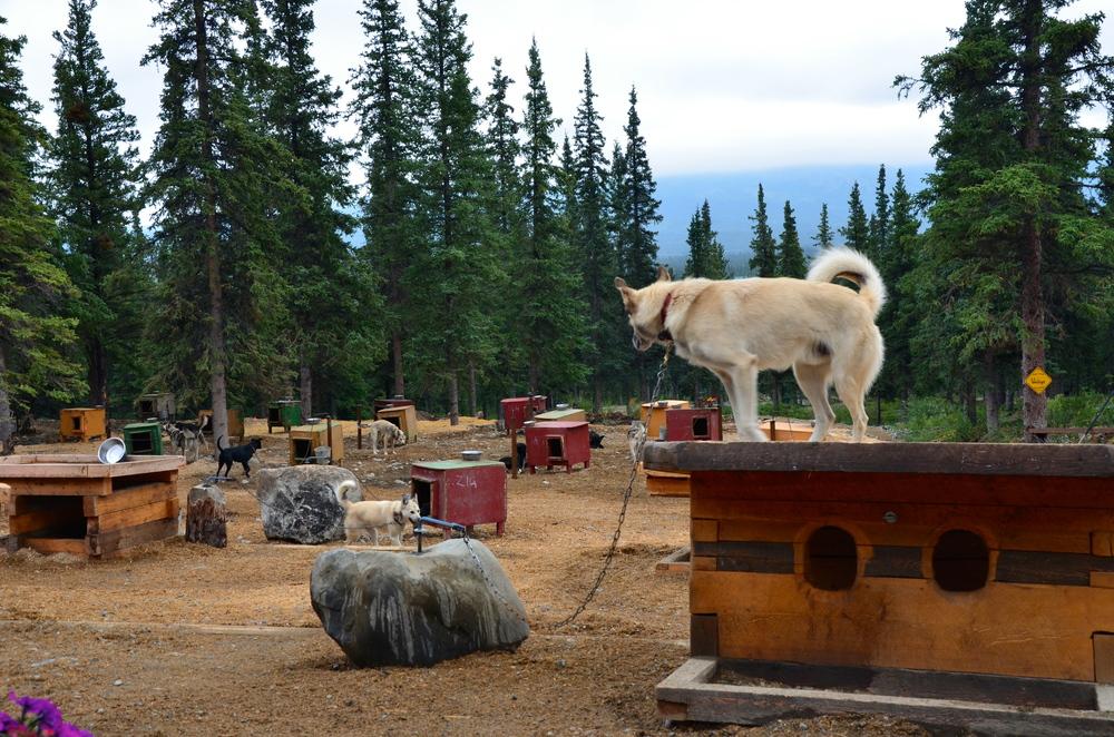 Jeff King's Alaskan Huskies