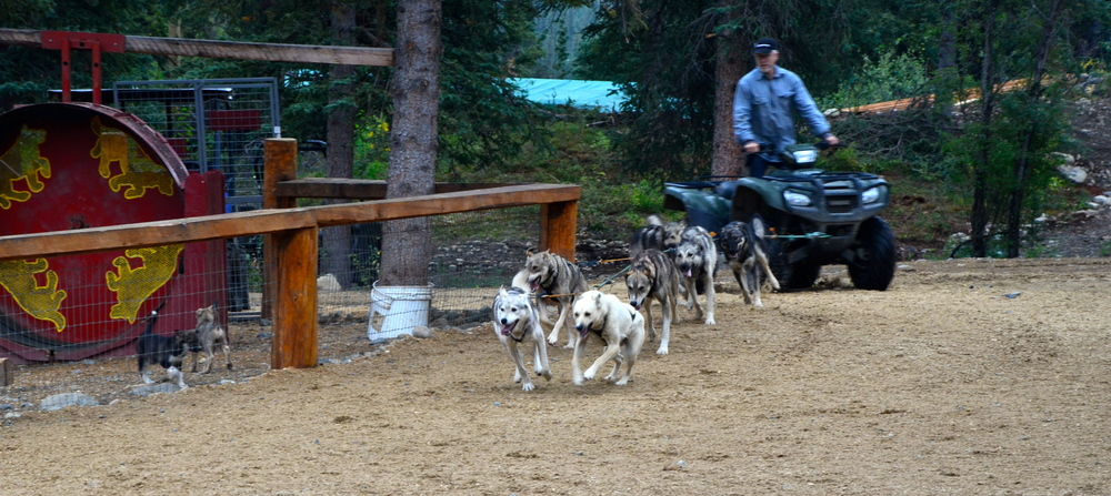 The dogs look forward to a 2 mile run, their daily training with the atv in the warmer weather.