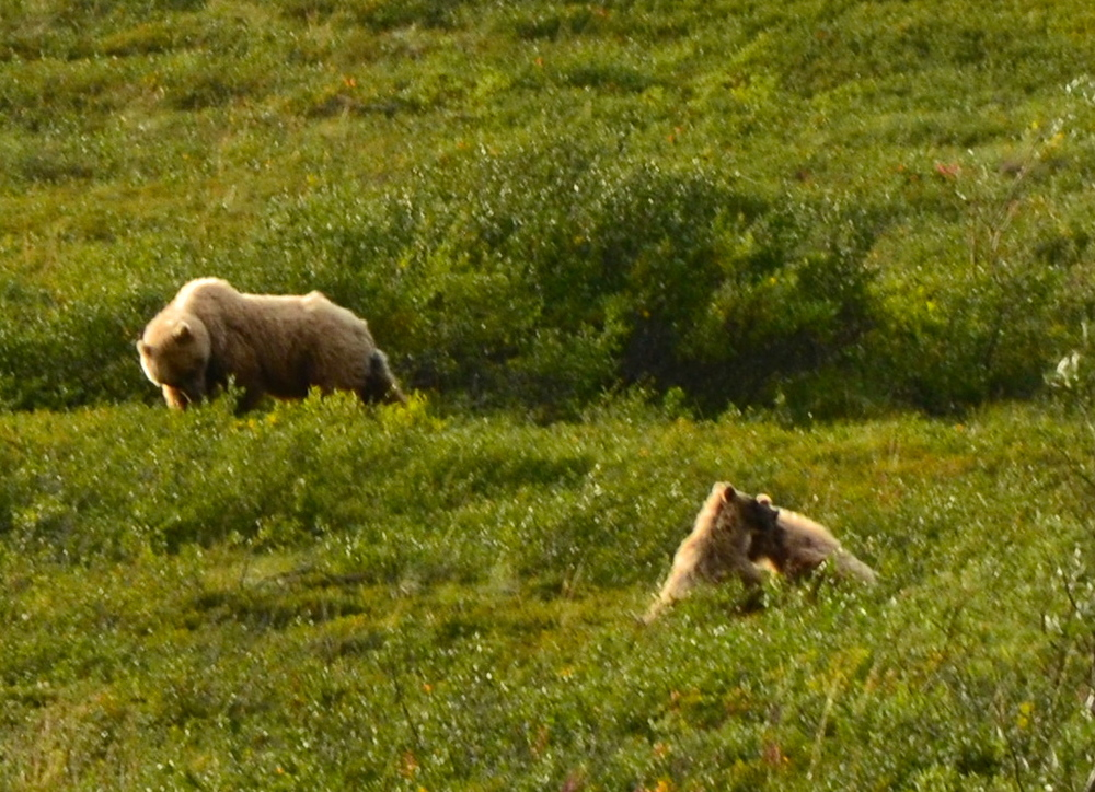 A Brown Bear, (Grizzly) and her playful cubs