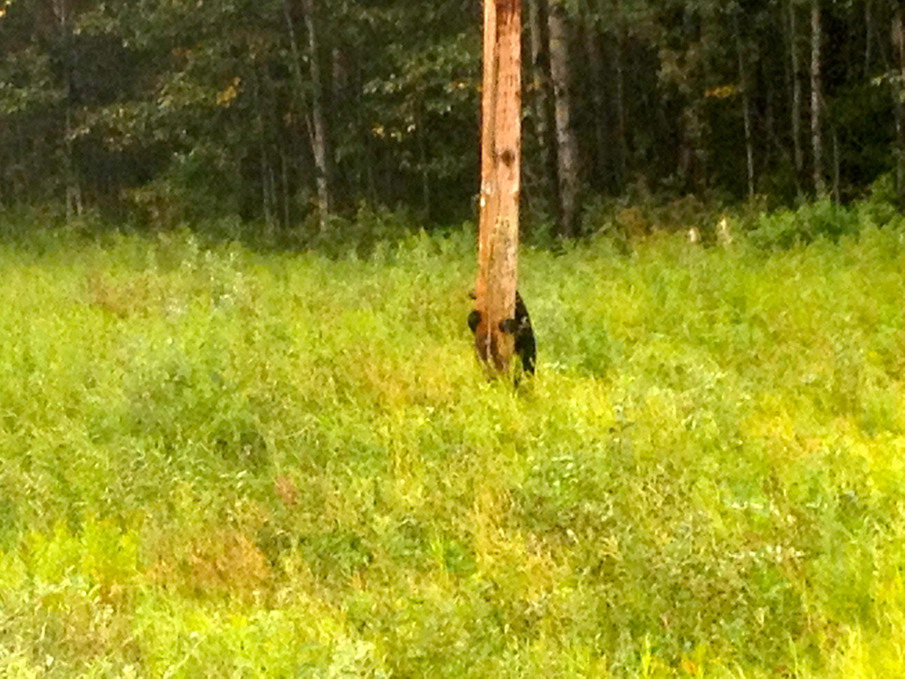 Black bear cub climbing a power pole.. You know mum is nearby!!