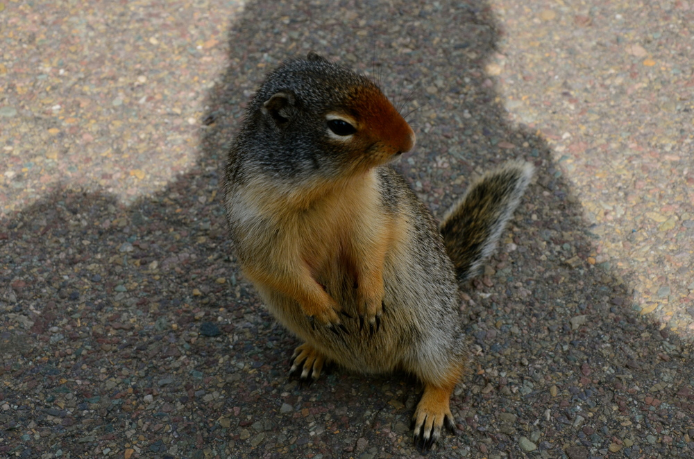 A friendly ground squirrel that was very interested in the camera and my legs...gave me a fright!