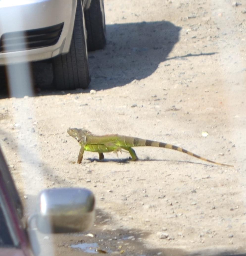 Iguanas crossing the road