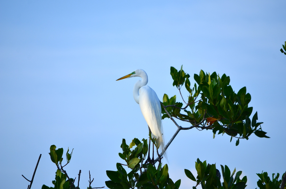 The graceful Egret