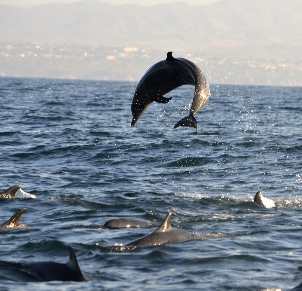 The dolphin pod was on fire!…The fuel being massive school of sardines!