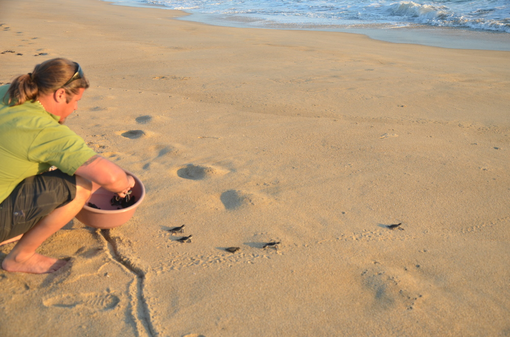 Releasing baby Green and Olive Ridley tortugas