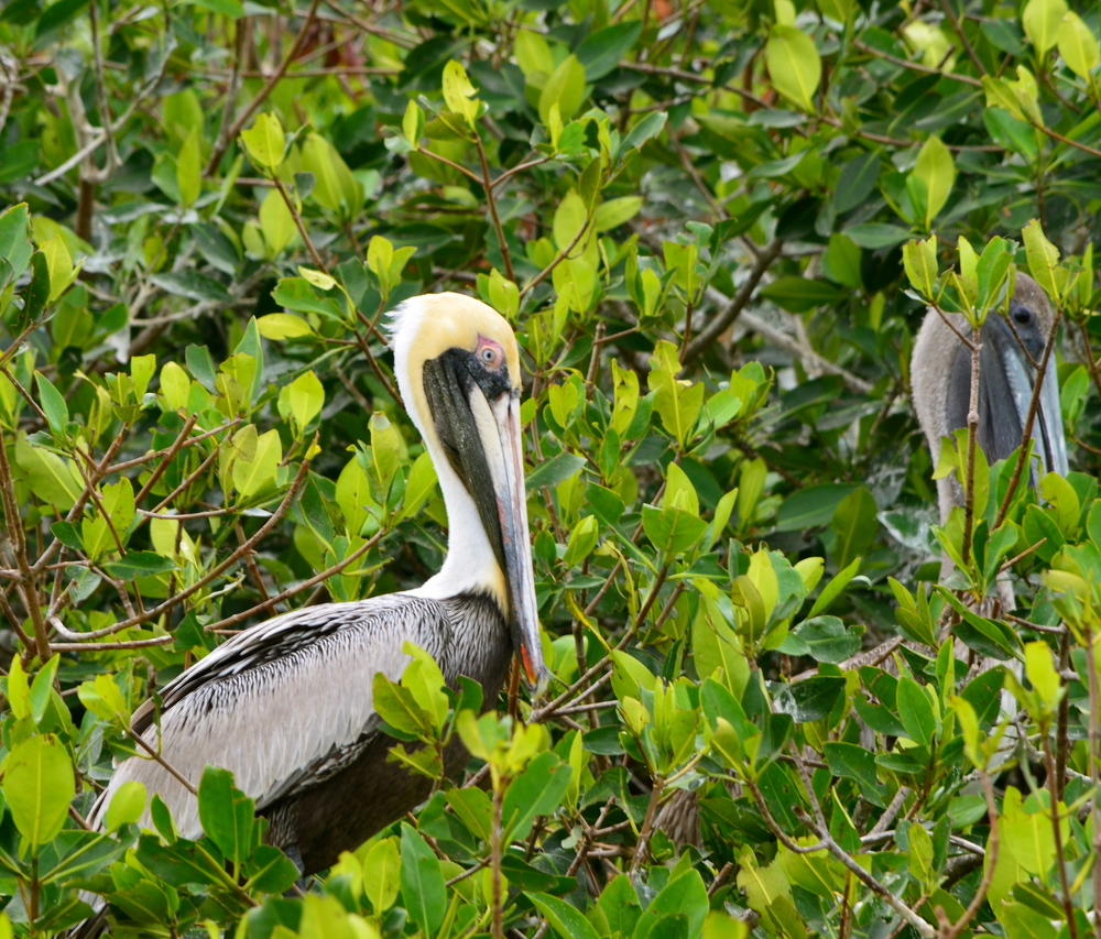 An mangrove island of perched and nesting pelicans. It seemed that each bird spices chose a separate chill'n location.