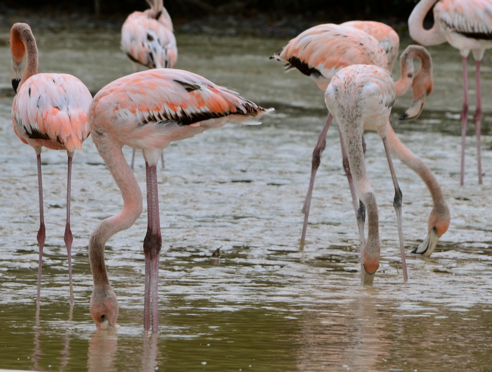 Young flamingos that are still grey in color