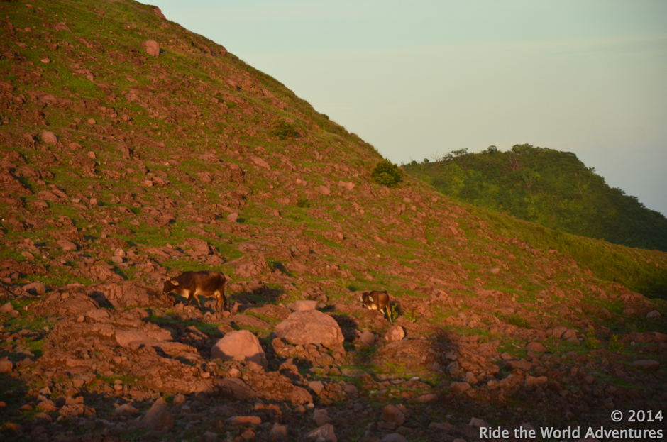 Hiking up the side of a volcano, on a wondrous…setting sun with a full moon rising.  Still worn out from dehydration  we did not want to miss this opportunity.  There are cows   everywhere in Nicaragua!