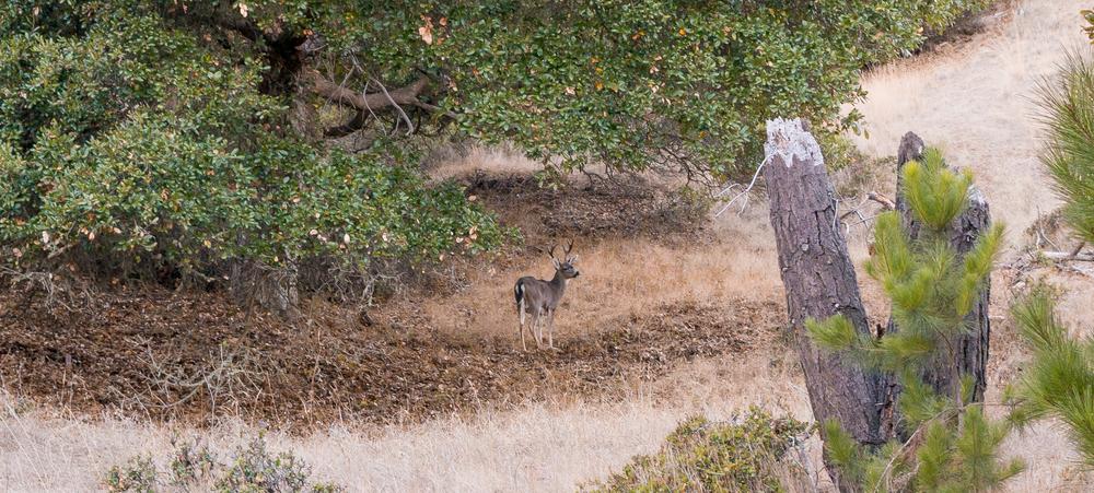 Angel Island Wildlife Buck Deer