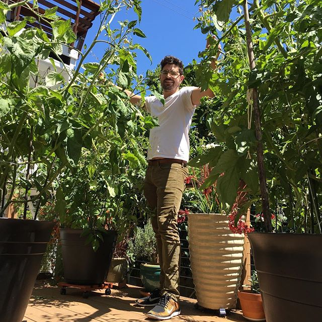 Now growing in the shop garden: monster SF tomatoes and curious grins