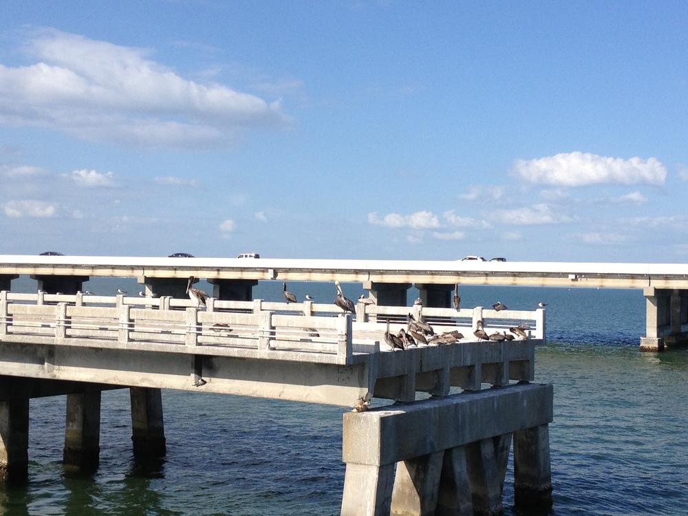 A peck o' pelicans