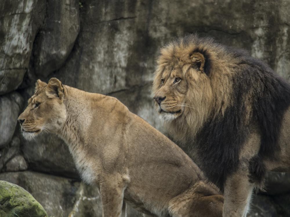 Lion Couple; Oregon Zoo