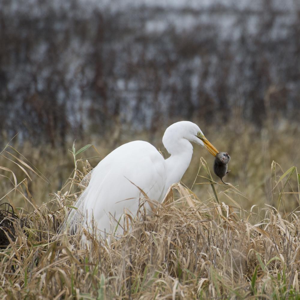 Great Egret; Wildlife Refuge
