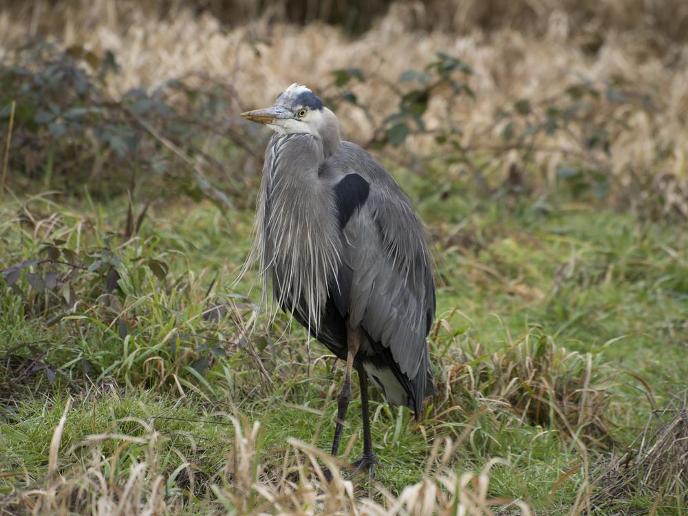 Great Blue Heron; Wildlife Refuge
