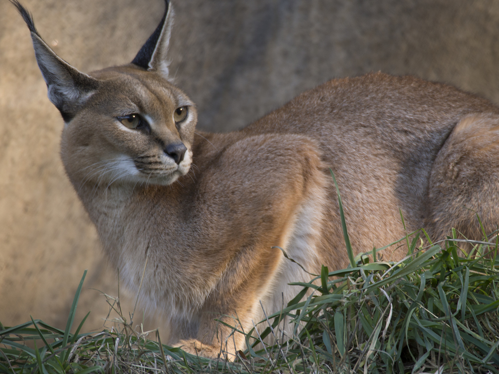 Caracal; Oregon Zoo