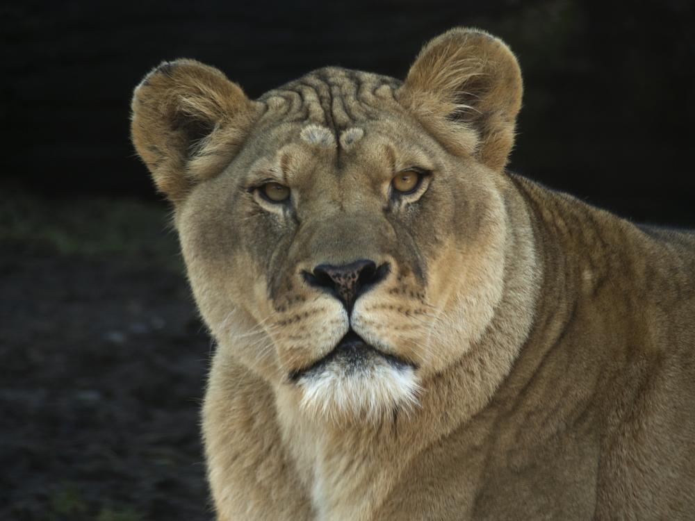 Lioness; Oregon Zoo