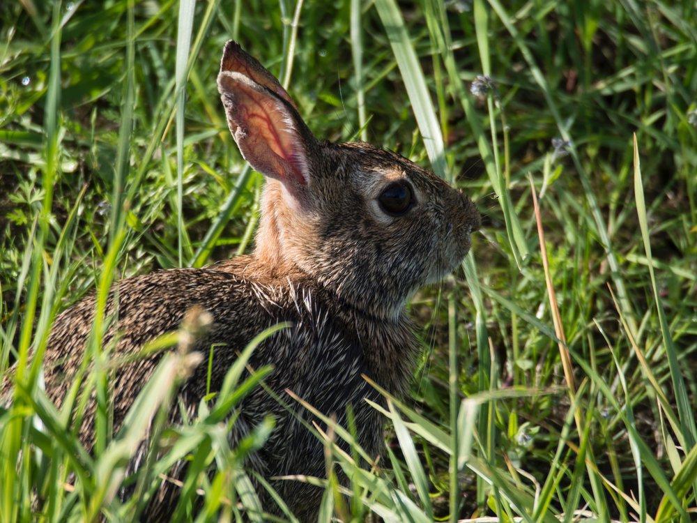 Rabbit; Wildlife Refuge