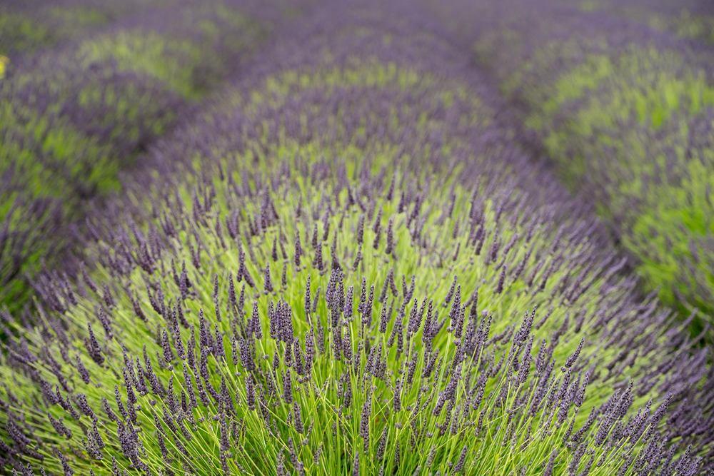 purple spikes