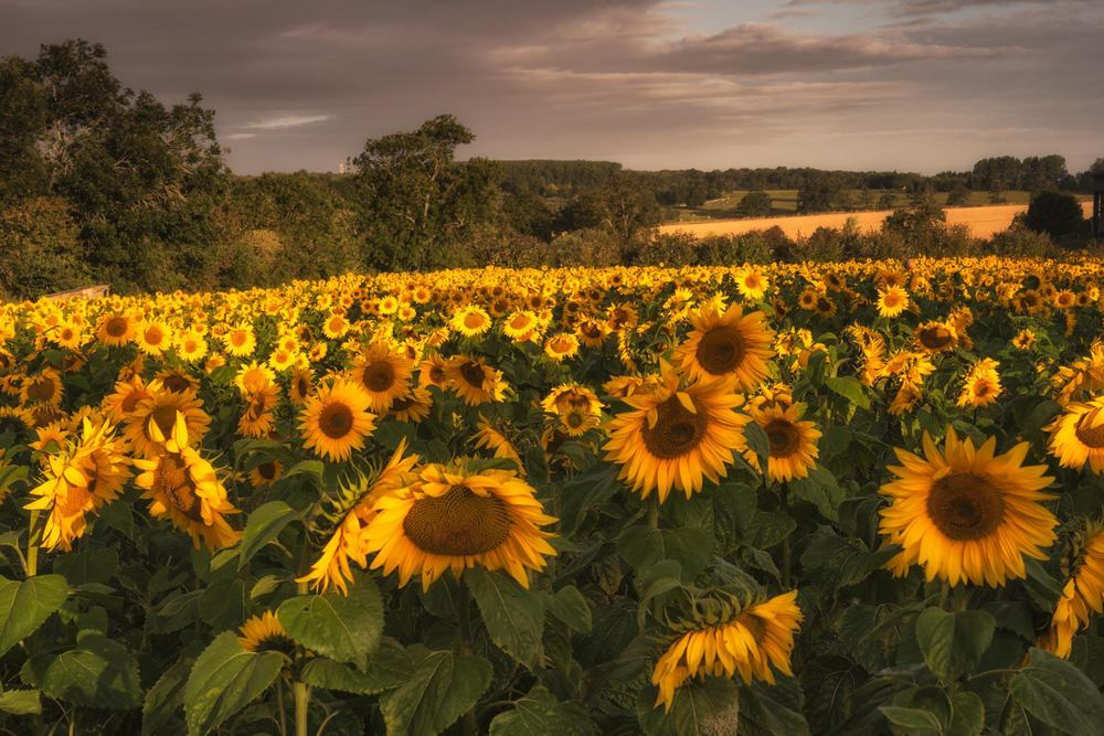the sun finally breaks through and kisses the sunflowers