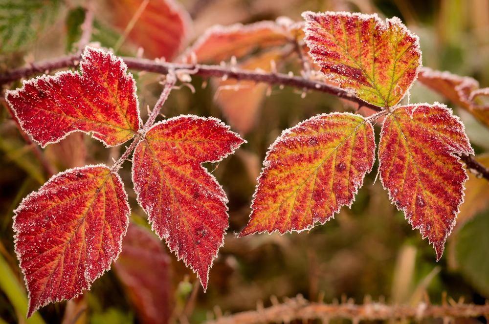 sugar coated leaves