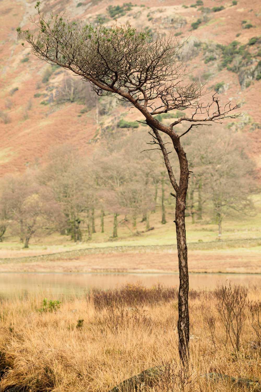 Blea Tree