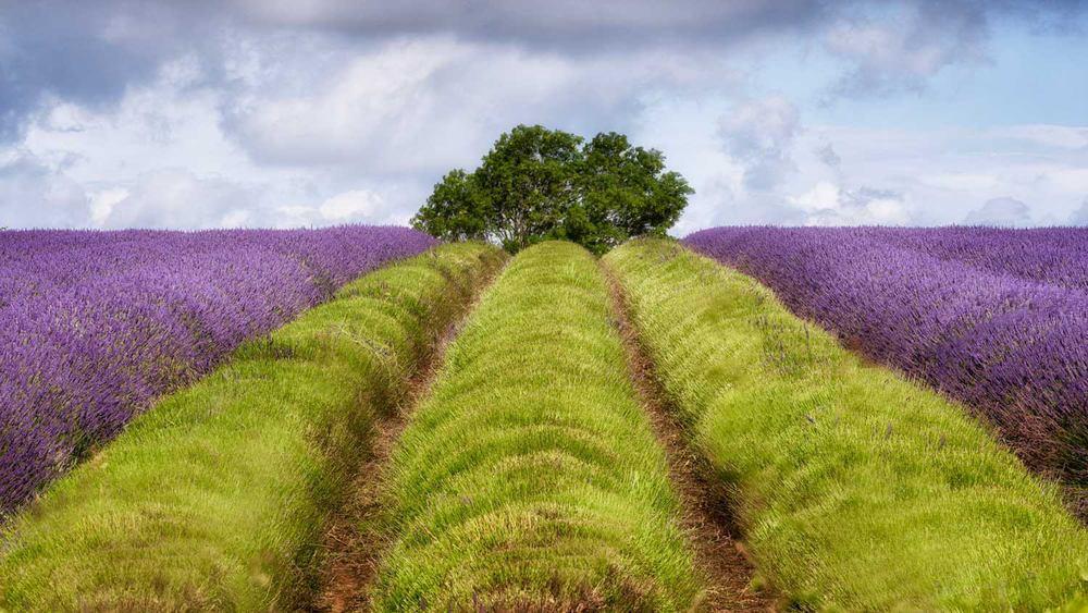 lavender photography workshop