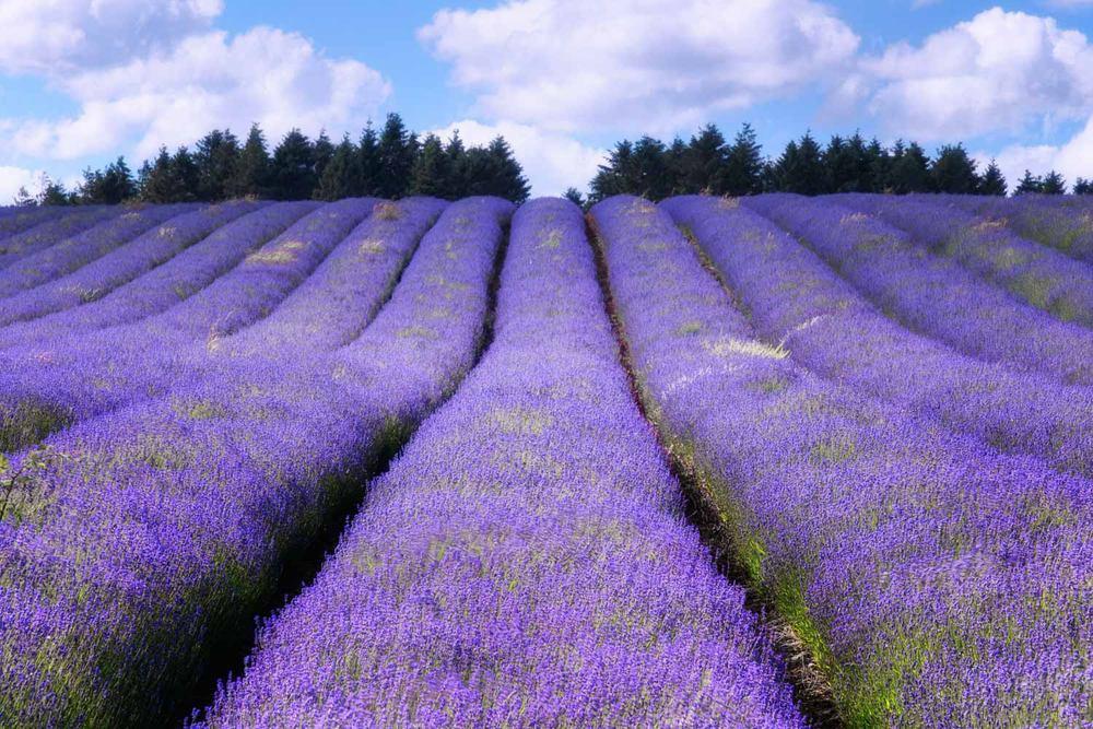 lavender fields workshop