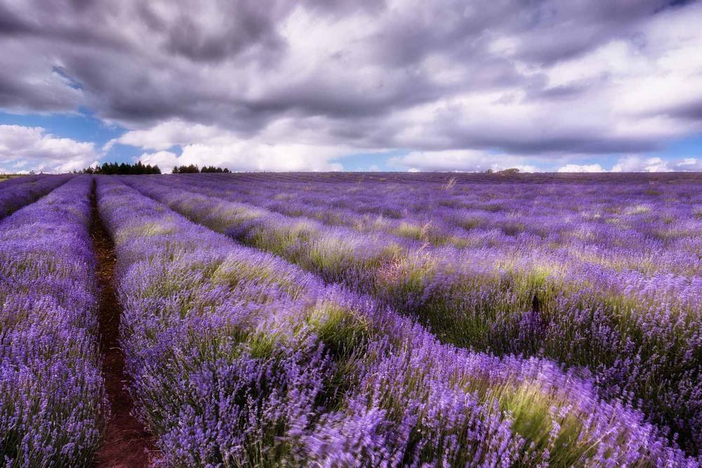 lavender field photography workshop