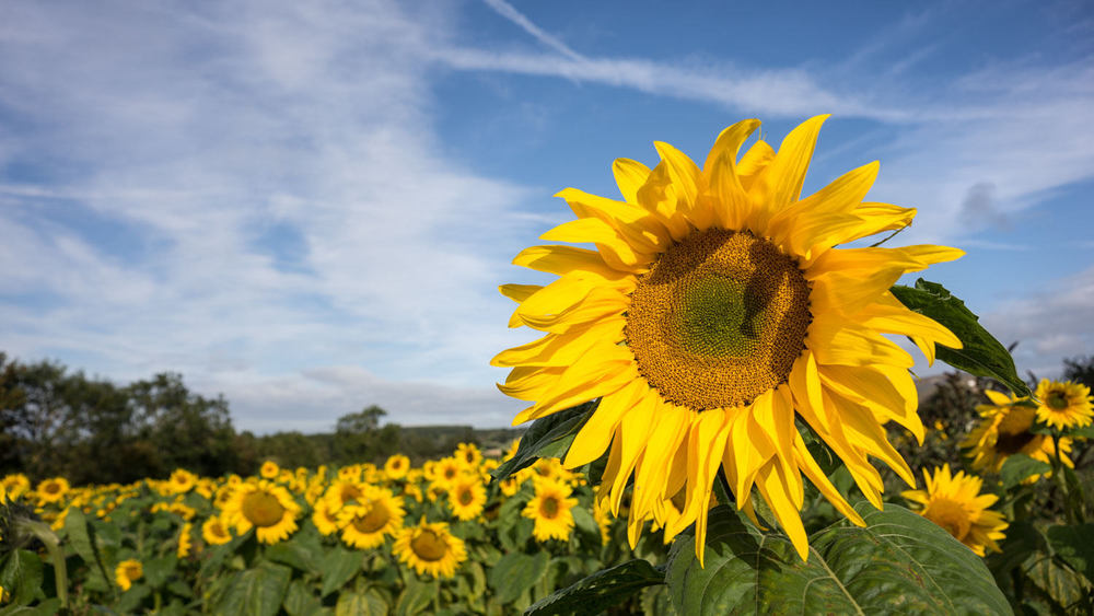 sunflower photographic workshop