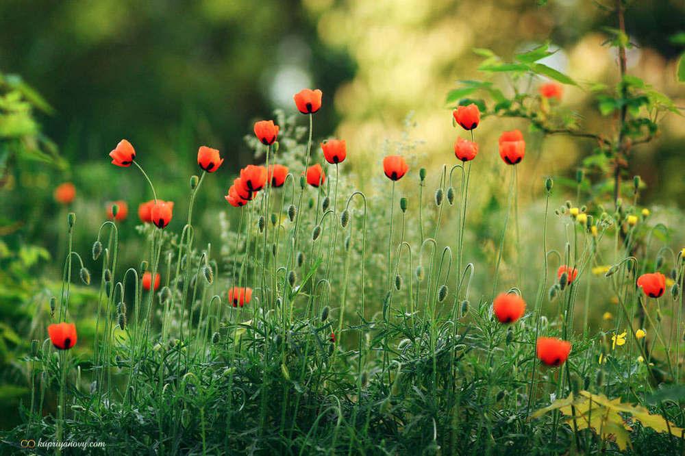 Fresh morning poppies